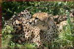 KindGames Free Online Cheetah Jigsaw Puzzles