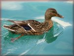 KindGames Free Online Duck Jigsaw Puzzles